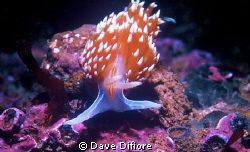 California Nudibranch form Monterey Bay by Dave Difiore