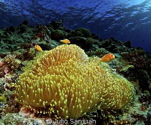 Anemone and clownfish in Palau, Nikon D70, 10,5mm. Aquati... by Julio Sanjuan