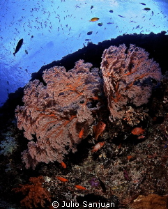 Gorgonian and squirrelfish in Palau. Nikon D70, 10mm, Aqu... by Julio Sanjuan