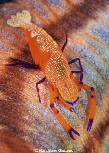 Painting Periclimens imperator Lembeh strait Nikon D80... by Marchione Giacomo