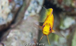 Hawaiian Longfin Anthias by Ralph Turre