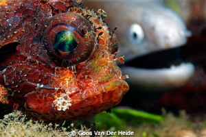 Partners in Crime- Scorpion fish next to a Mauray-Eel, B... by Goos Van Der Heide