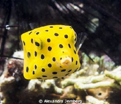 Yellow boxfish by Alexandra Jernberg