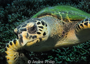 Intimate Moment with a hawksbill turtle -  She was very ... by Andre Philip