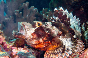 Scorpionfish made me a favor. by Mehmet Salih Bilal