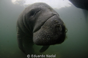 manatee close up by Eduardo Nadal