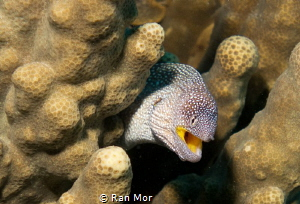 Small Moray in Eilat by Ran Mor