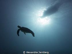 Turtle by Alexandra Jernberg