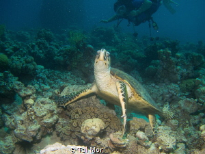 Cute turtle posing.  --- My images are uploaded for fun a... by Tal Mor