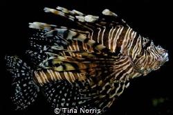 lion fish by Tina Norris