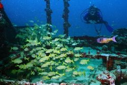 Diver swims into a school of Grunts on a wreck in Aruba. ... by Matthew Shanley