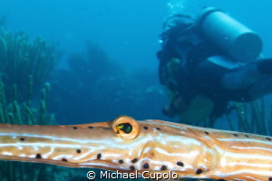 Trumpet fish by Michael Cupolo