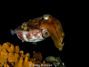 Cuttle fish by Greg Duncan