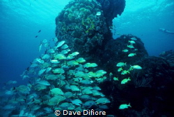 Schooling at Reef in Cozumel by Dave Difiore