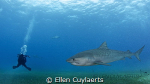 Meeting Tiger sharks after some stormy days! by Ellen Cuylaerts