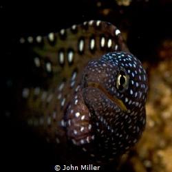 juvenile yellow mouth moray by John Miller