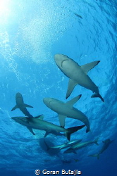 silky sharks by Goran Butajla