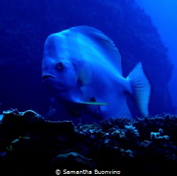 Watchful batfish in its beauty! by Samantha Buonvino