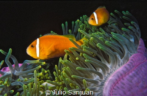 Clownfish and anemona. by Julio Sanjuan