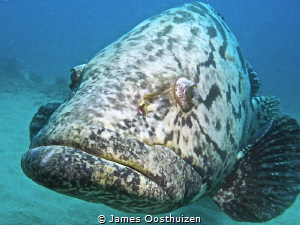 A very friendly Potato Bass who stuck with us throughout ... by James Oosthuizen