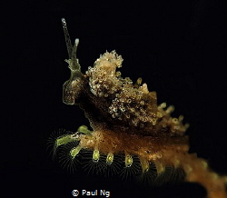 size of 4mm. Never seen this Nudi before by Paul Ng