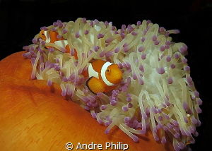 The Family - Clownfishes in her anemone by Andre Philip