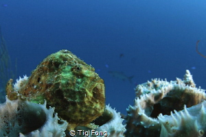 First CFWA attempt: Longlure Frogfish on house reef off B... by Tig Fong