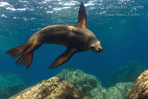 female Sea Lion, La Paz Mexico by Alejandro Topete