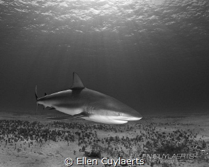 Caribbean reef shark at Tiger Town! by Ellen Cuylaerts