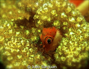 Blenidodei in the coral. Nikon D70, 105 macro by Julio Sanjuan