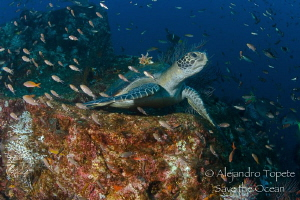 Turtle resting on the Reef, La Paz Mexico by Alejandro Topete