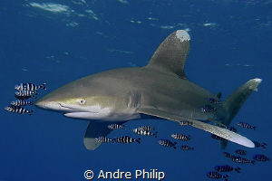 His Majesty is coming - Oceanic Whitetip in the Red Sea by Andre Philip