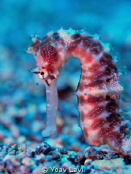 Sea Horse by Yoav Lavi
