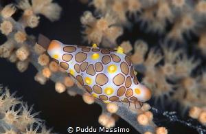 shell,nikon D800e 105 micro,Lembeh Gangga island by Puddu Massimo
