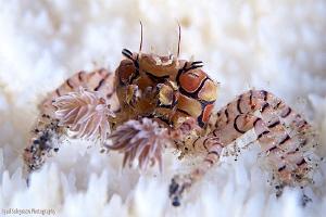 Boxer Crab by Iyad Suleyman