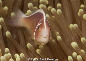 Pink-Anemonefish Bunaken,Sulawesi,Indonesia, Bunaken Isl... by Hans-Gert Broeder