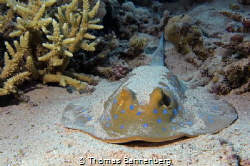 """Bluespotted ribbontail ray NIKON D7000 in a Seacam """"Prel... by Thomas Bannenberg"""