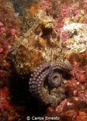 octopus by Carlos Ernesto