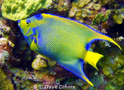 Queen Angel cruising a Reef by Dave Difiore
