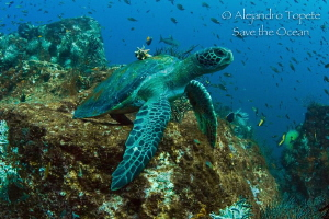 Turtle waiting the picture, La Paz Mexico by Alejandro Topete