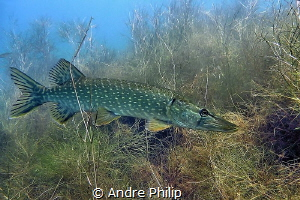 Waiting for prey - a pike in his habitat It was a day wi... by Andre Philip