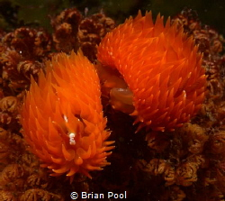 'pompom' nudis that I've never seen before, creating more... by Brian Pool