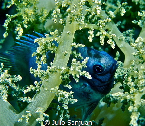 Dammelfish in soft coral by Julio Sanjuan