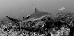 Shark by Tina Norris