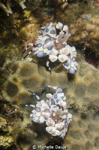 Pair of Harlequin Shrimp in Lembeh by Michelle Davis