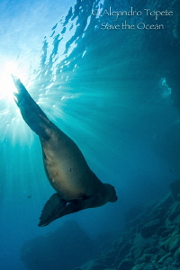 Sea Lion with sun rays, La Paz Mexico by Alejandro Topete