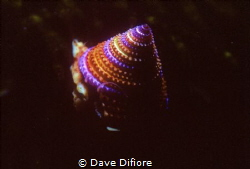 Top shell Monterey bay California by Dave Difiore