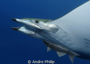 Portrait of a atlantic Mobula Ray - the little brother of... by Andre Philip