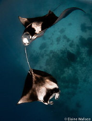 Snorkelling with manta from a live aboard. by Elaine Wallace
