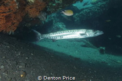 Barry the barra under the rudder USAT Liberty by Denton Price